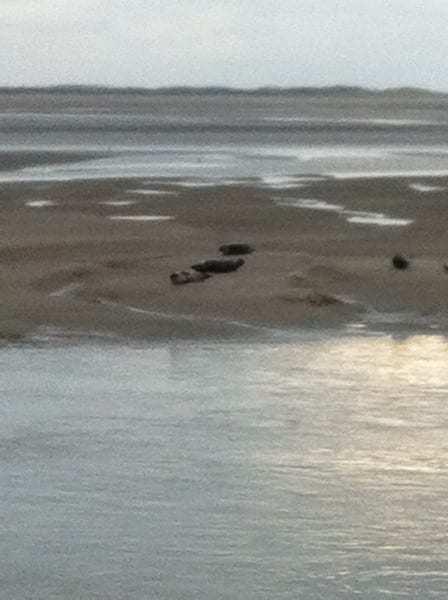 Phoques à Berck sur Mer en Baie d'Authie les beaux jours en Baie de Somme
