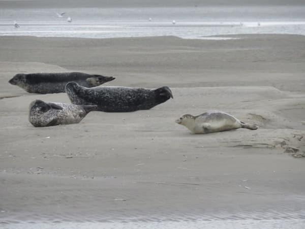 bébés phoques veaux marins sur la plage en Baie d'Authie, les beaux jours en Baie de Somme