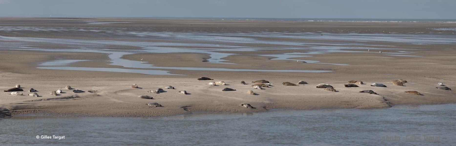 Où voir les phoques en Baie de Somme, les beaux jours en Baie de Somme © Gilles Targat
