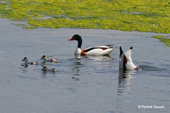 Couple de Tadorne de Belon et leurs petits dans le Parc du Marquenterre