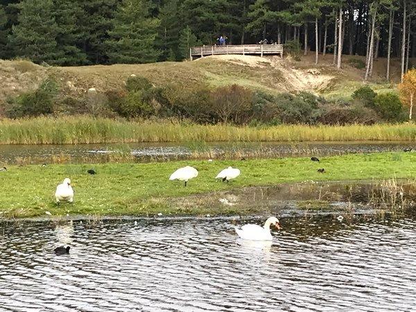Cygnes et foulques au Parc du Marquenterre