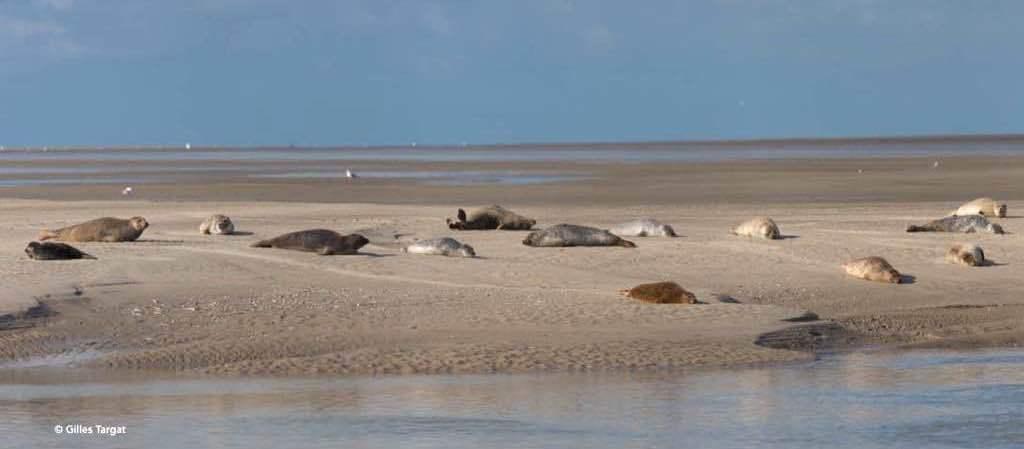 Où voir les phoques en Baie de Somme